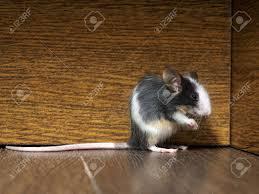 grau flauschige weiße maus auf dem boden im wohnzimmer rosa beine große ohren und schnurrhaare einen langen schwanz lustige tiere
