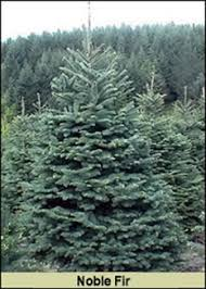 Fraser Fir Christmas Trees Nc by Scotch Pines Blue Spruce White Firs Balsam Firs Black Hills