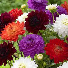 dahlia bulbs sale fiori idea immagine