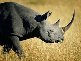 West African Black Rhinoceros