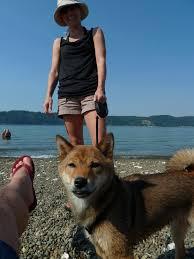 Do Shiba Dogs Shed by The Furminator And My Shedding Shiba Inu U2013 Milo The Mischievous Shiba