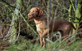 Vizsla Dog Breed Shedding by Vizsla Vs Wirehaired Vizsla Dog Breed Atlas