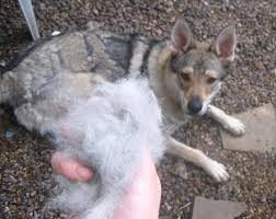 Sheltie Shedding In Clumps by What Is Coat Blow U0026 Will It Affect Your Dog U2013 Iheartdogs Com