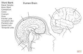 Human Word Bank Brain Anatomy Coloring Pages Basal Ganglia Stem Cerebellum Corex Cranium Dura Frontal