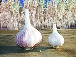 faq about alliums garlic leeks onions and scallions schallots