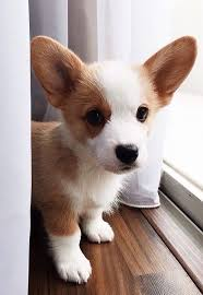 Top 20 Corgi Puppy Items DaxuSHequ