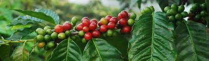 Coffee Plant Clipart For Your App