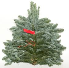 Silvertip Christmas Tree by Greenery