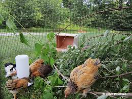 Baby Chick Playground - | Coops, Pet Chickens And Raising Chickens Why Should You Compost Chicken Manure Is Naturally High In 1105 Best Backyard Project Images On Pinterest Raising Baby Chick Playground Coops Pet Chickens And Worming Backyard Controversial Here Are Tips How To Naturally Treat Coccidiosis Your Chickens Natural Treatment Of Vent Prolapse Ducks 61 To Me Raising Means Addressing Healthkeeping Deworming Homesteads