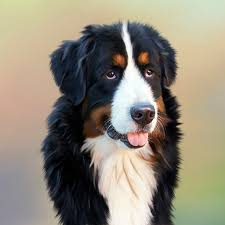 Non Shed Dog Breeds Hypoallergenic by Bernese Mountain Dog Facts Characteristics Information And