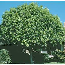 Shop Trees At Lowes.com Best Shade Trees For Oregon Clanagnew Decoration Garden Design With How Do I Choose The Top 10 Faest Growing Gardens Landscaping And Yards Of For Any Backyard Small Trees Plants To Grow Grass In Howtos Diy Shop At Lowescom The Home Depot Of Ideas On Pinterest Fast 12 Great Patio Hgtv Solutions Sails Perth Lawrahetcom A Good Option Providing You Can Plant Eucalyptus Tree