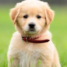 What Dog Sheds The Most by Anatolian Shepherd Dog Breed Information Pictures