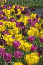 p蝎es 25 nejlep蝪罸ch n罍pad蟇 na t罠ma tulip bulbs for sale na