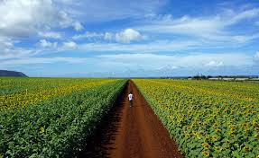 Aloun Farms Pumpkin Patch 2014 by How To See The Sunflower Fields On The North Shore Before They U0027re