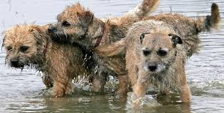 Border Terrier Non Shedding by Border Terrier Dog Breed Information And Images K9rl