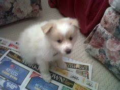 the miniature american eskimo dog ought to be brushed frequently