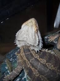 grey spot on top of head bearded dragon org