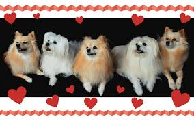 No Shed Small Dogs by Two Things You Must Know About Small Dog Breeds That Don U0027t Shed