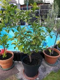 zitronenbaum ca 1 50 hoch 9 zitronen ca 10 jahre alt