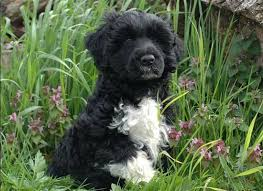 Portuguese Water Dog Non Shedding by So You Think You Want A Portuguese Water Dog Puppy Portuguese