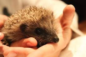 8 fun facts about the adorable hedgehog animal hearted apparel