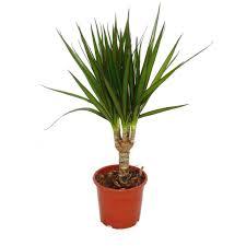 drachenbaum dracaena marginata 1 pflanze pflegeleichte zimmerpflanze palme