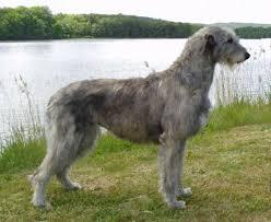 Irish Wolfhound Non Shedding by Hound Dog Breeds