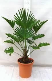 entretien d un palmier en pot nivaply