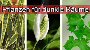 zimmerpflanzen die wenig licht brauchen pflanzen für fensterlose dunkle räume