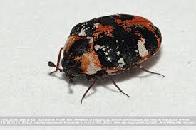 kleine braune käfer im bad welches tierchen ist es was tun