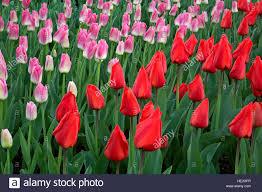 wa12999 00 washington tulips blooming at a display garden at
