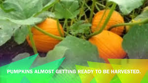 Stages Of Pumpkin Plants by The Life Cycle Of A Pumpkin Youtube