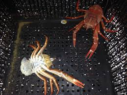 Do Hermit Crabs Shed Their Whole Body by Pugnacity And The Need To Regrow Limbs U2013 Notes From A California