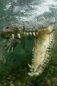 520 krokodile ideen in 2021 krokodile krokodil tiere