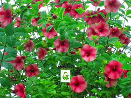 seeds for sale hibiscus seeds cuttings for sale