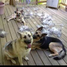 Shedding Blade German Shepherd by Who Said Sheperds Don U0027t Shed Much Oh Yes They Do Enough To Make