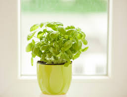 basilic planter et cultiver ooreka
