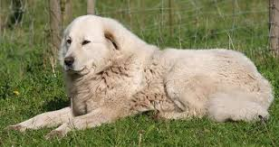 great pyrenees what s good about em what s bad about em