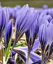 buy autumn crocus blue purple bakker