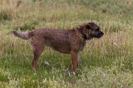 Do Border Terriers Shed by Patterdale Or Border Terrier Which Is The Quieter Of The Two