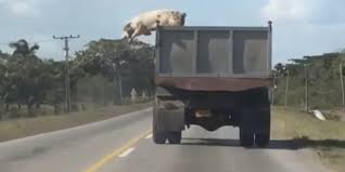 Pig Jumps From Truck To Escape Slaughterhouse In South America ... Toms Bbq Pig Rig Phoenix Food Trucks Roaming Hunger Our Second Food Truck Is Complete The Red Truffle A High Farmer John Pig Transport From Colorado To California 3104 Benjamin Radigan Elegant Truck Transport Semi Trailer Suppliers And Out Pigouttruckiowa Twitter Hauling Thousands Of Pigs Overturns On I40 Blocking Lanes Dog 96000 Prestige Custom Manufacturer Proper Smokehouse Inspired By Owners Vacation Pig Food Truck Its Seattle I Must Go Jolly Baltimore Sun