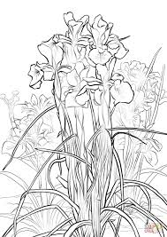 Amazing Free Iris Flowers Coloring Pages For Kids