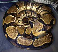 Ball Python Shedding Signs by Identifying A Low White Calico