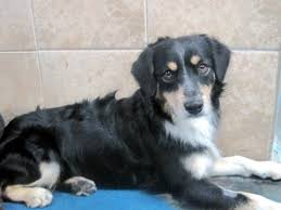 pauly big boy collie mix adopted 9 29 12 foreclosed upon pets