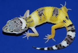Do Leopard Geckos Shed by Lemon Frost Leopard Gecko Information Page Genetics And History