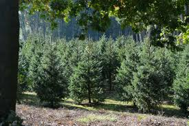 Nordmann Fir Christmas Tree Nj by How To Care For Your Natural Christmas Tree In New Jersey