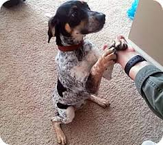 Do Bluetick Coonhounds Shed by Meet Coonley A Petstablished Bluetick Coonhound Dog In Columbus