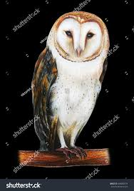 Barn Owl Drawing On Black Background Stock Illustration 496808476 ... White Screech Owl Illustration Lachina Bbc Two Autumnwatch Sleepy Barn Owl Yoga Bird Feeder Feast And Barn Wikipedia Attractions In Cornwall Sanctuary Wishart Studios Red Eastern By Ryangallagherart On Deviantart Owlingcom Biology Birding Buddies 2000 Best 2 Especially Images Pinterest Screeching Youtube
