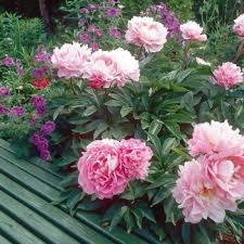 pivoine herbacee en pot pivoine herbacée plantation exposition et conseil fiche jardinier