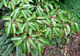 What Is The Best Christmas Tree Variety by 18 Species Of Holly Trees And Shrubs
